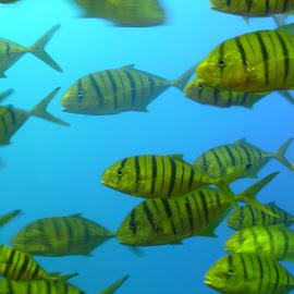 The School by Jason Gaston - Animals Fish ( school, blue, fish, yellow, salt water, stripe )