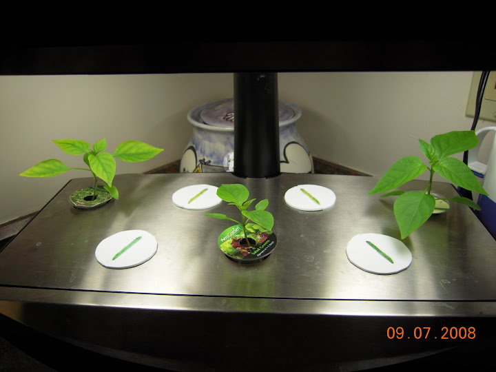 Pro100 peppers, age 3.5 weeks.