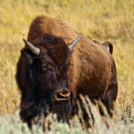 Buffalo  by Kimberly Sheppard - Animals Other Mammals ( field, buffalo, horns, large, animal )
