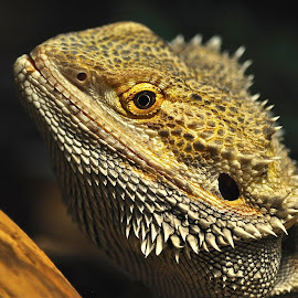Spike by Lisa Cifaretto - Animals Reptiles ( #spikes, #dragon, #ieatworms, #rip, #bearded dragon )