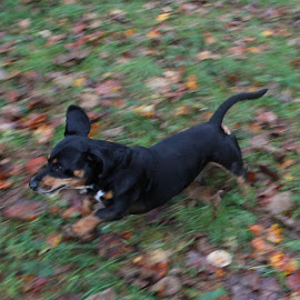 In Action by Deegee English - Animals - Dogs Running ( action, puppy, run, running, black )