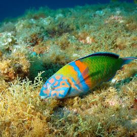 Little dancing rainbow by Alexandre Ribeiro Dos Santos - Animals Fish ( thalassoma pavo, ornate wrasse, atlantic ocean, açores, underwater photography, baixa sul, portugal, faial, azores )