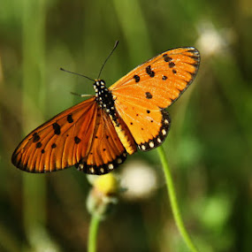 butterfly by Djamal Sharief - Animals Insects & Spiders ( wildlife )