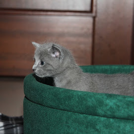 Kitten by Aleksander Cierpisz - Animals - Cats Kittens (  )