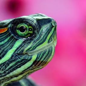 TURTLE by Bastian M - Animals Amphibians ( brazilian turtle, green head of turtle, green eyes, turtle head, turtle )