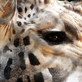A Captive  by Saptarsi Roy - Animals Other Mammals