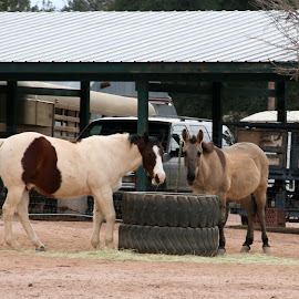 horse and mule 2 by Debbie Theobald - Animals Horses ( animals, horses, farms, unedited, mules,  )