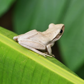 the white frog.. by Fadzlee Maula Fmn - Animals Amphibians ( banana leaf frog, suddenly, nikon d3100, frog, white frog, leaf frog )
