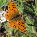 Cyntheris Fritillary Butterflies