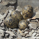 Eggs of Red Wattled Lapwing