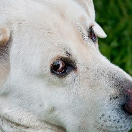 Mister by David Leer - Animals - Dogs Portraits ( oregon, 2014, white, valley, mister, close up, portrait, douglas, county, pet, outdoor, hunting, turkey, dog, umpqua, animal )