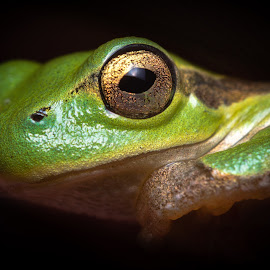 Frogtrait by Luca Fumagalli - Animals Amphibians ( frog, green, close up, portrait, animal,  )