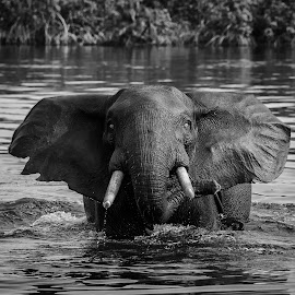 Forest Elephant by Mark Murray - Animals Other Mammals ( tourettefishing, gabon, elephant, westafrica, markmurray, settecama )