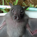 Greater musky fruit bat (juvenile)