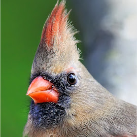 You Lookin' at Me? by Dennis Ba - Animals Birds ( cardinal, cardinal portrait )