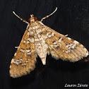 Salvinia Stem Borer Moth