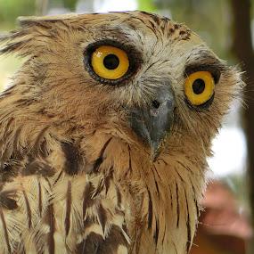 Watchfull Eyes by Lolotan Dalimunthe - Animals Birds ( fiery, stare, owl, birds, lolotan, eyes )
