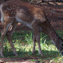 White Tailed Deer (fawn)