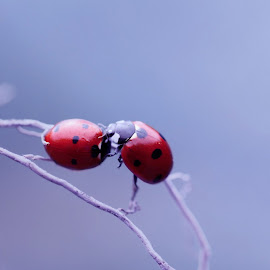 Kiss me by David Tamayo - Novices Only Macro ( macro, nature, ladybug, landscapes, lady bug, light, natural, close up, photography )