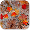 Autumn Maple Live Wallpaper ★