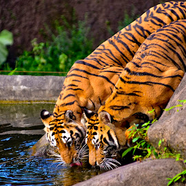 by Arief Fachrudin - Animals Lions, Tigers & Big Cats (  )