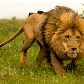 Come Kitty Kitty by Richard Ryan - Animals Lions, Tigers & Big Cats ( king of the jungle, lion, africa,  )