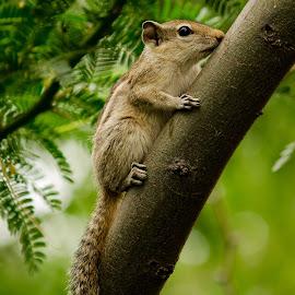 squirrel by Nitish Saini - Animals Other Mammals ( nature, rodent, close up, garden, mammal, squirrel )