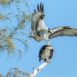 Osprey Love by Dave Eppley - Animals Birds ( action, raptor, mating, birds, in flight, osprey )