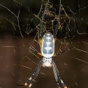 Banded-legged Nephelia / Gebande-poot Goue Wawielwebspinnekop