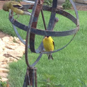American Goldfinches (3)