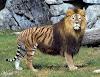 Gambar preview LIGER , kawin silang harimau dan singa
