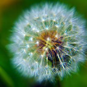 Dandelion 2 by Alan Chew - Nature Up Close Other plants (  )