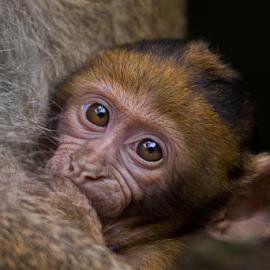 Suckle by Michael Milfeit - Animals Other Mammals ( macaca sylvanus, jungtier, meerkatzenverwandte, makake, saugen, affe, baby, berberaffe, magot, suckle )