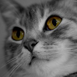 Gypsie by Lin Fauke - Animals - Cats Portraits ( kitten, cat, green, white, black, halloween, eyes,  )