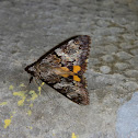 Oak Yellow Underwing