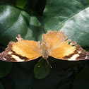 Autumnleaf Butterfly