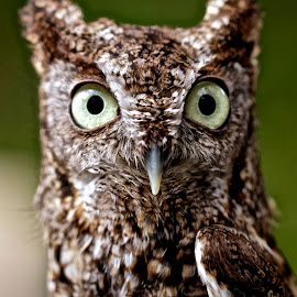 Jeepers, creepers, where'd you get those peepers.... by Sandy Scott - Animals Birds ( birds of prey, screech owl, owl, birds, eastern screech owl, raptors,  )