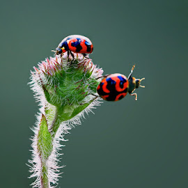 Lady Bug by Nur Santo - Animals Insects & Spiders