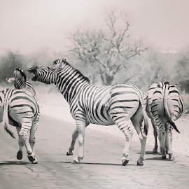 Family Portrait by Mari du Preez - Animals Other Mammals ( national park, black and white, road, zebra, mammal,  )