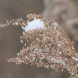 Tall Grass by Tina Marie - Nature Up Close Trees & Bushes ( nature, tree, snow, plants, bush, weeds, flowers, tall grass )