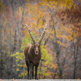 Alpine Ibex by Roland Bast - Animals Other ( canada, alpine ibex, fall, aminal, wildlife )