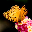 Common Leopard Butterfly