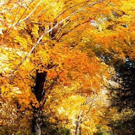 where the trail goes by Jennifer Schmidt - Landscapes Travel ( mn fall, fall colors, autumn, yellow leaves, fallen leaves,  )