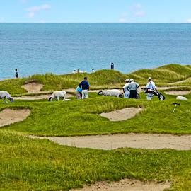 Golf & Sheep by Sandy Friedkin - Sports & Fitness Golf ( sport, sandtraps, lake, game, golfers, caddies,  )