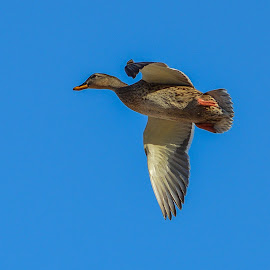 Duck in Flight by Jane Carter - Novices Only Wildlife