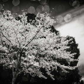 Surreal Sakura by Kurt K Gledhill - Flowers Tree Blossoms ( okayama, japan, art, white, sakura, fine, black )