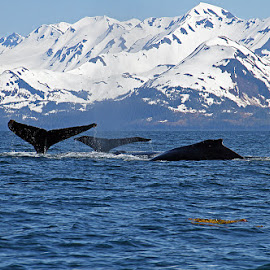 Whale Trifecta by Frank Keller - Animals Sea Creatures ( humpback, mountains, alaska, wildlife, prince william sound, whales )