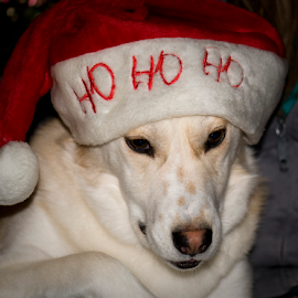 Not impressed Husky by Janet Gilmour-Baker - Animals - Dogs Playing ( holiday, pup, upclose, christmas, husky, dog, hat,  )