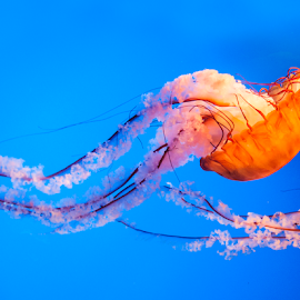 Jelly Dance by Amy Winfield Quicke - Animals Sea Creatures ( orange, sea creature, jellyfish )