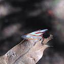 Oak treehopper